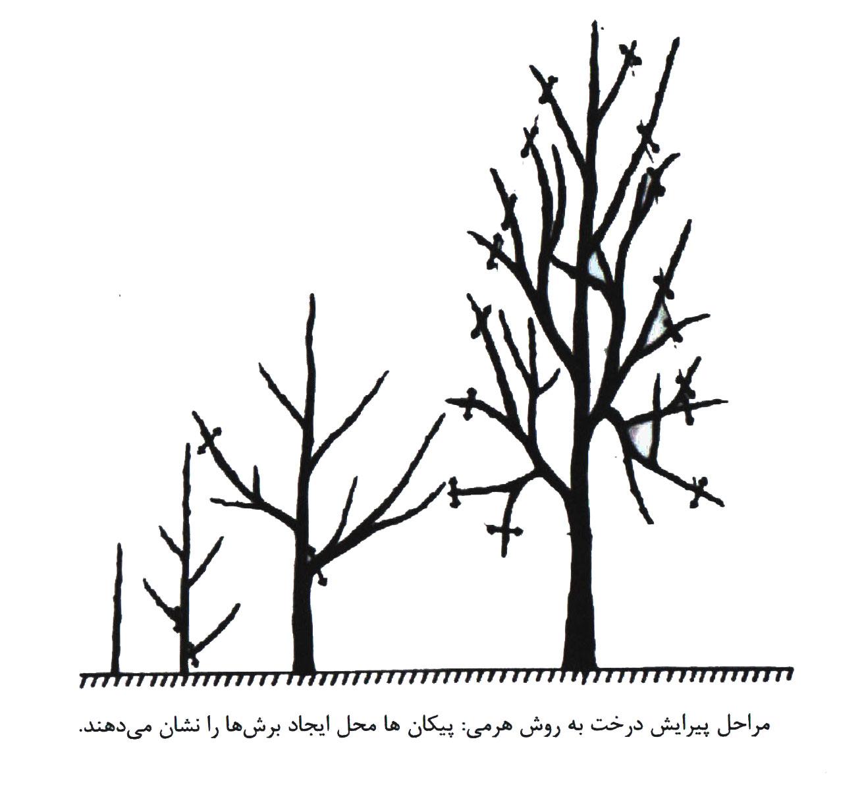 مراحل هرس درخت به شکل هرمی