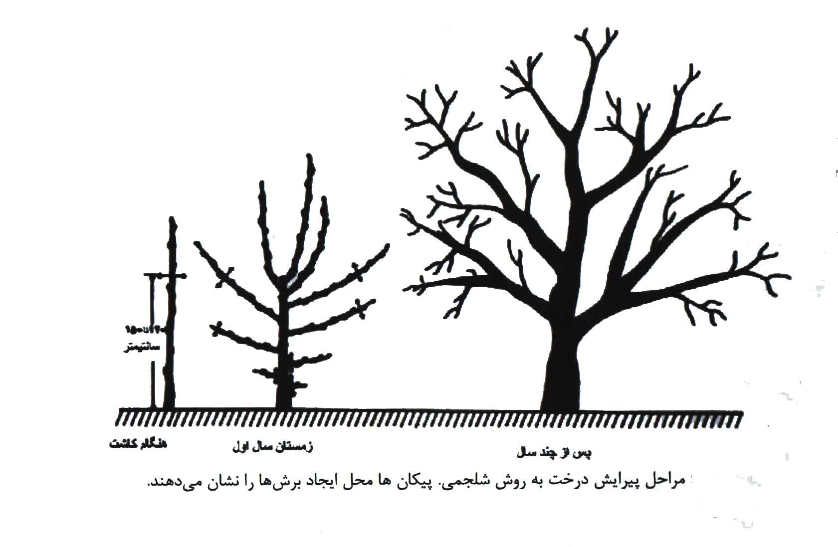 تصویر مراحل هرس درخت به روش شلجمی