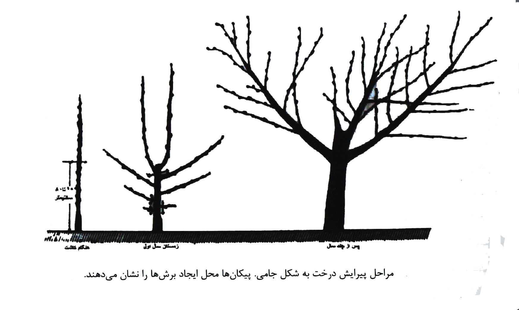 تصویر مراحل پیرایش درخت به شکل جامی