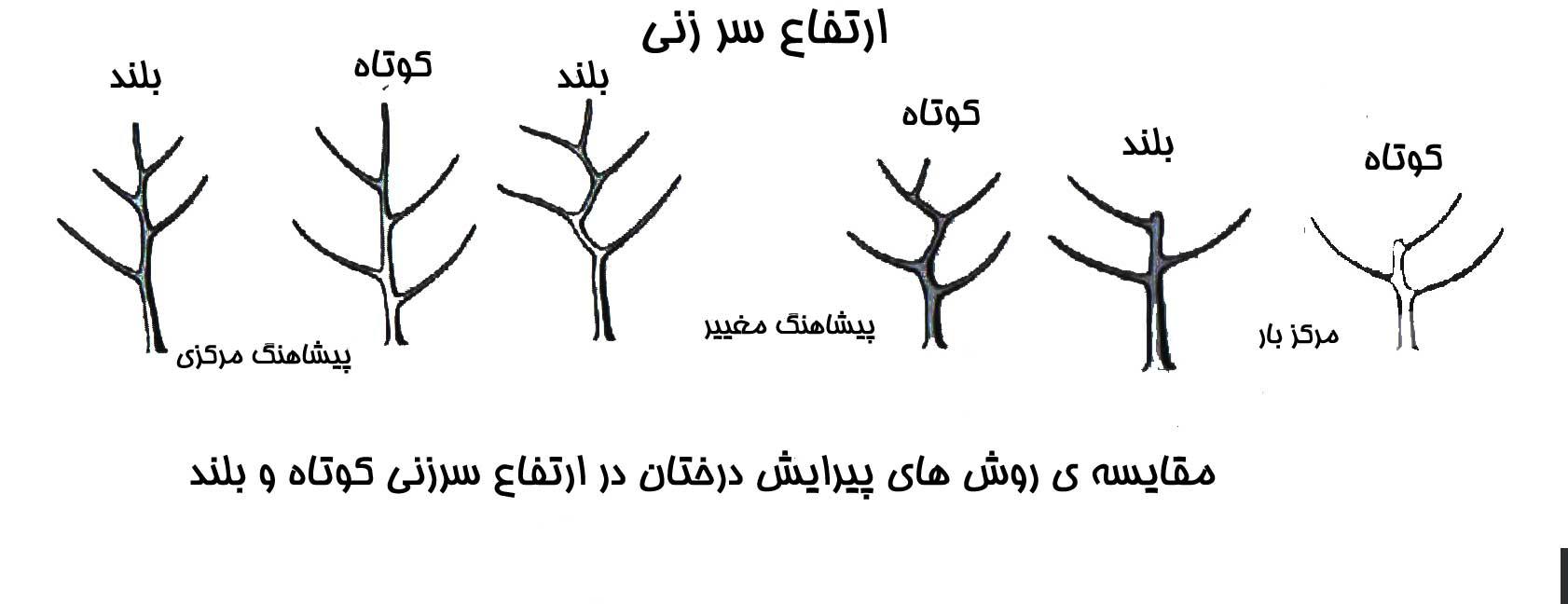 تصویر مقایسه روش های پیرایش درختان در ارتفاع سرزنی کوتاه و بلند.