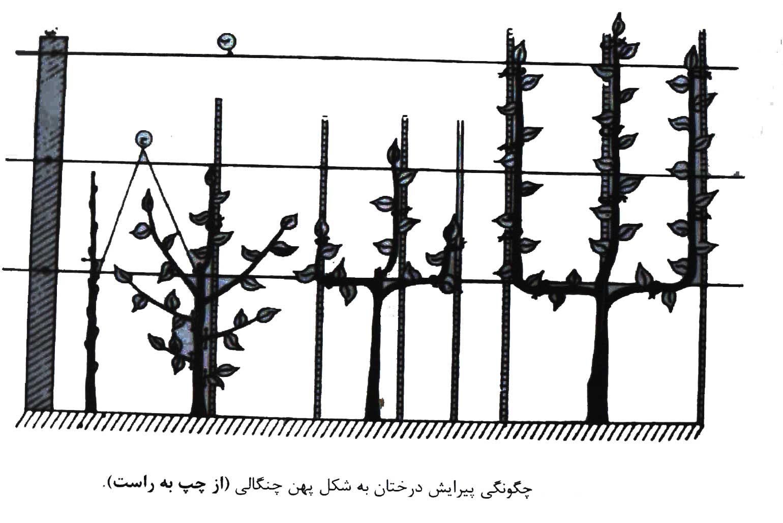 تصویر چگونگی پیرایش درختان به شکل پهن چنگالی