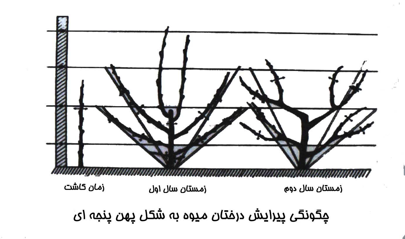 چگونگی پیرایش درختان میوه به شکل پهن پنجه ای