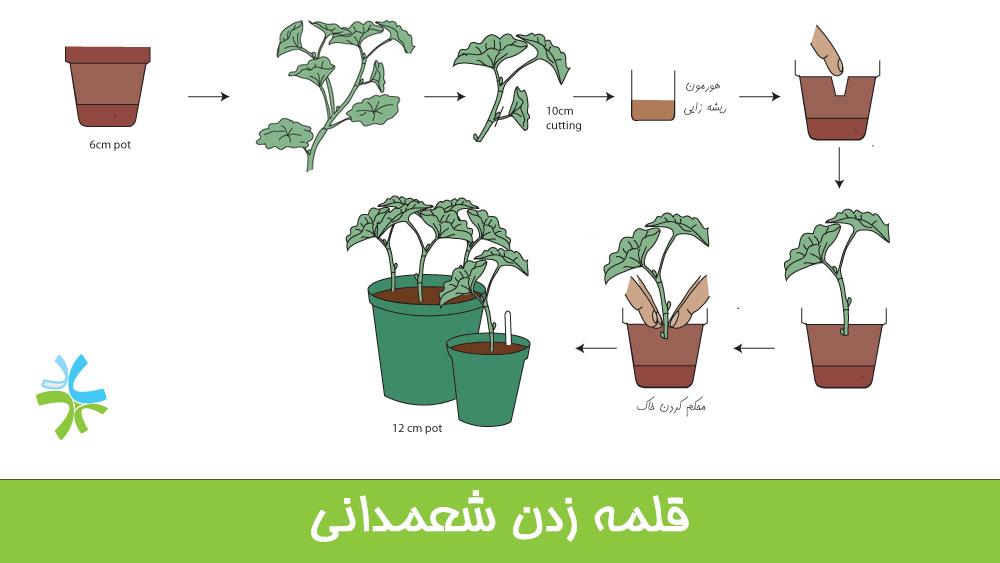 قلمه زدن گیاهان علفی مانند شعمدانی