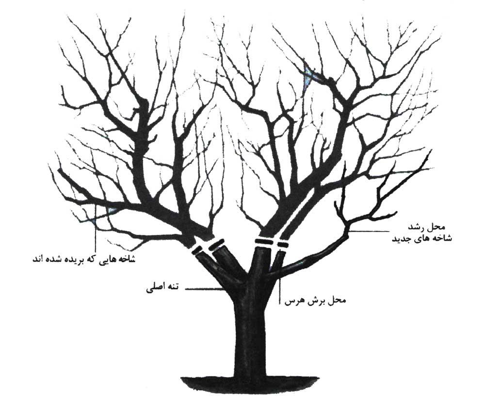 آماده سازی درخت برای سرشاخه کاری