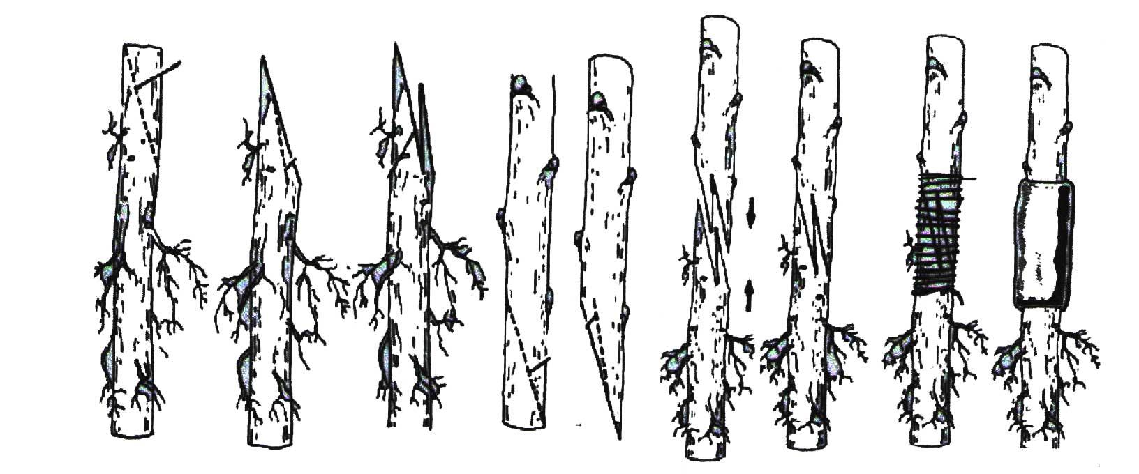 مراحل چوپیوند زبانهای