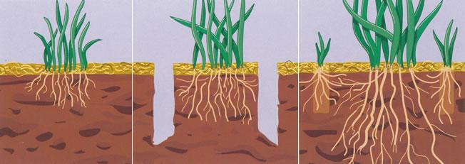 اثر هوادهی بر رشد ریشه ها