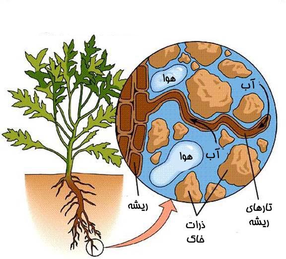 جذب آب توسط ریشه