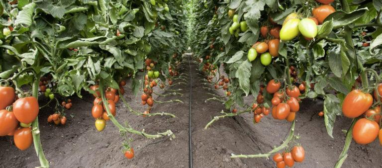 آبیاری در گوجه فرنگی