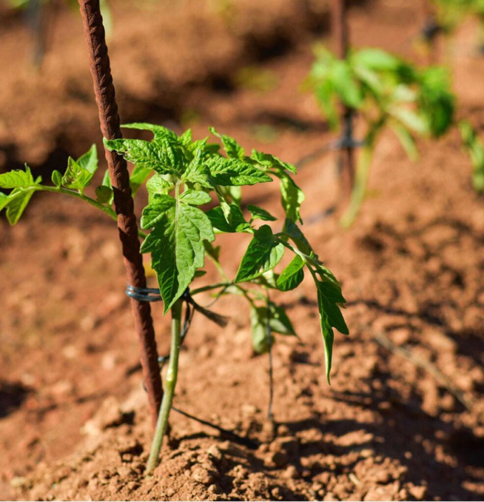 شرایط بذر گوجه فرنگی