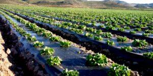تاثیرات انواع خاکپوش در گوجه فرنگی