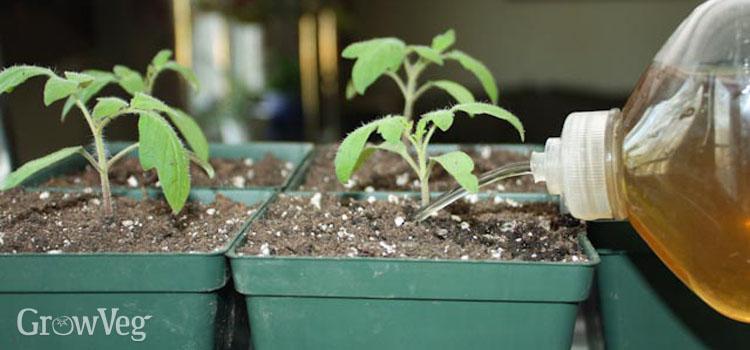 کود محلول برای گوجه فرنگی