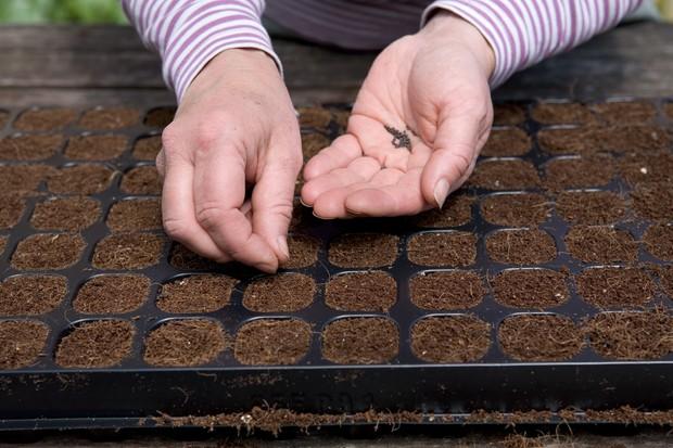 کاشت بذر پیاز در سینی نشاء