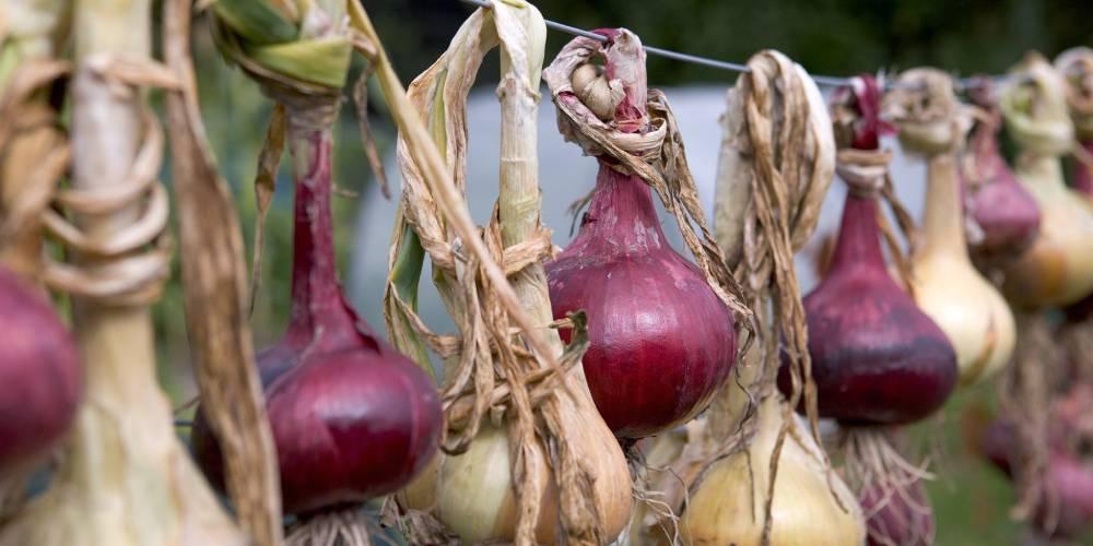 نحوه پرورش پیاز از بذر تا برداشت در 6 گام ساده